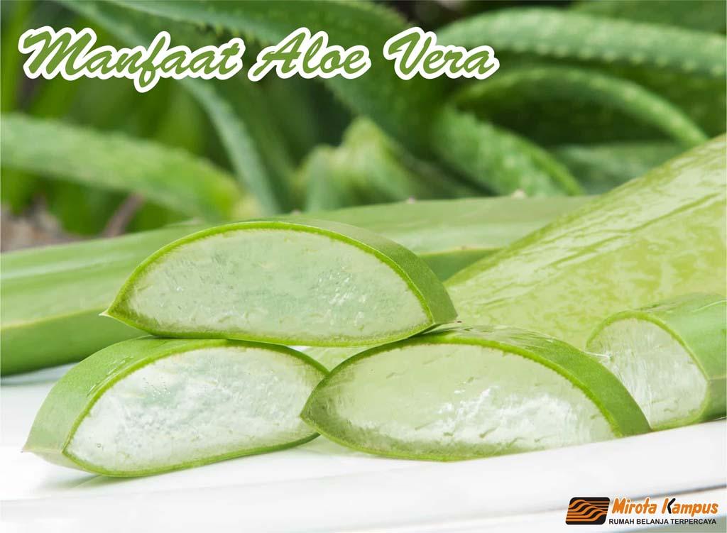 Manfaat Aloe Vera ( Lidah Buaya )